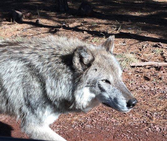 Williams, AZ: Wolf out my side car window. A few feet from car.