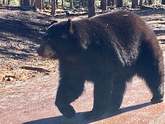 Williams, AZ: Bear near car. At one point we had 4 or 5 within feet of vehicle