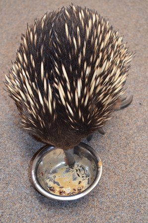 Beauty Point, Australien: Echidna at Platypus House
