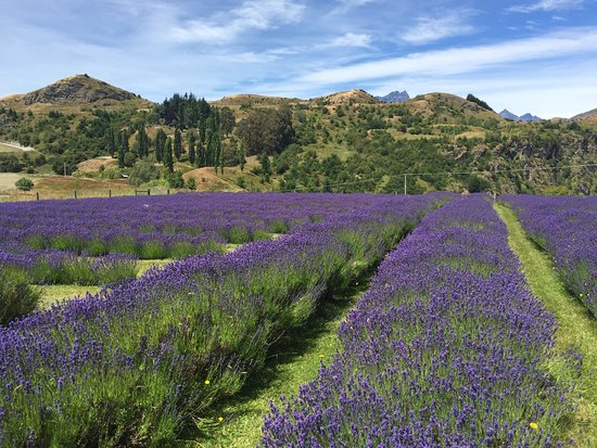 Ben Lomond Lavender (Queenstown) - 2019 All You Need to Know