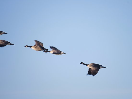 Westminster, CO: Geese A Flying !