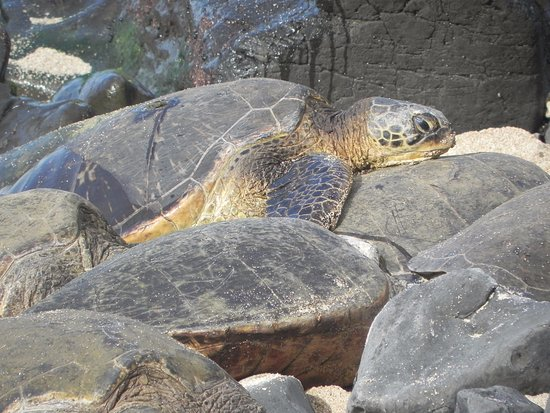 Paia, HI: turtle on the rocks