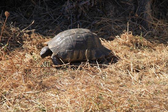 Capo Testa, Italie : Schildkröte in der Nähe der Wasserquelle