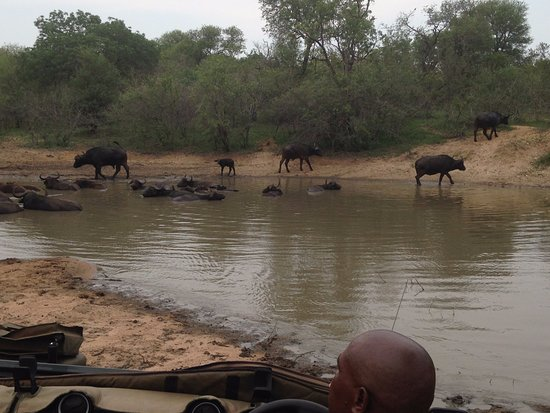 Garonga Safari Camp: Buffalos