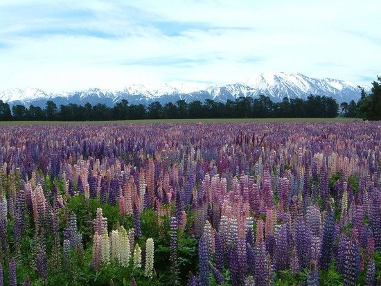 Ashburton, Nueva Zelanda: Methven, Lupin field