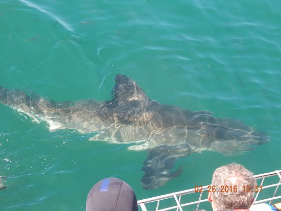 Gansbaai, Sudáfrica: A big boy comes by for a look at us