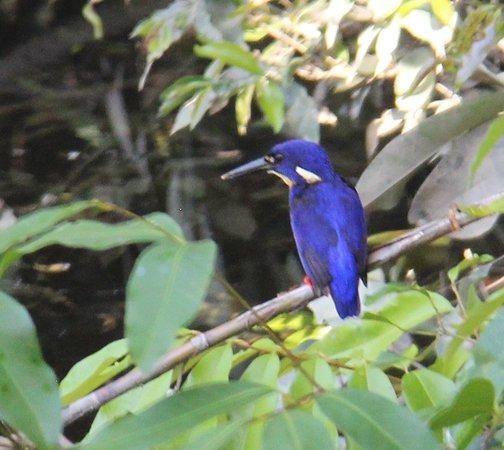Ravenshoe, Australien: azure kingfisher