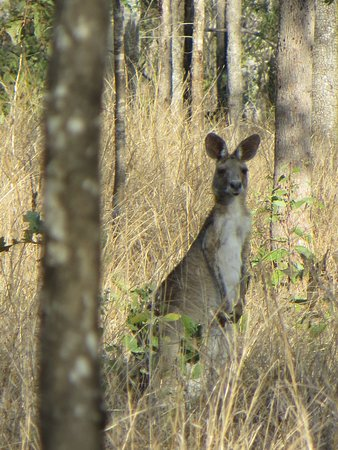Ravenshoe, Αυστραλία: eastern gray kangaroo