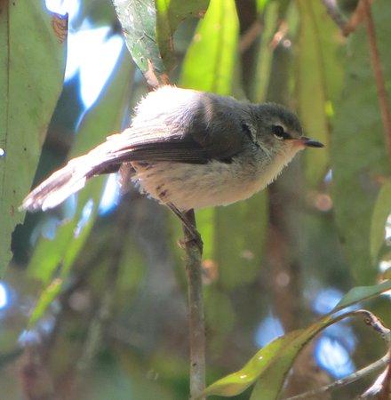 Ravenshoe, Australia: curtain fig resident
