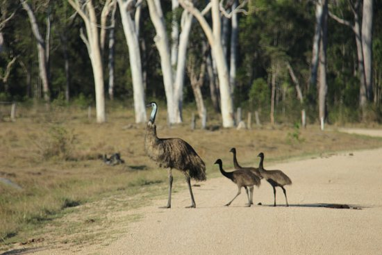 Ravenshoe, Australien: emu father and chicks