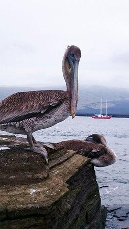 Puerto Villamil, Ekuador: Galapags Pelican