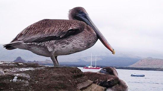 Puerto Villamil, Ecuador: Galapagos Pelican