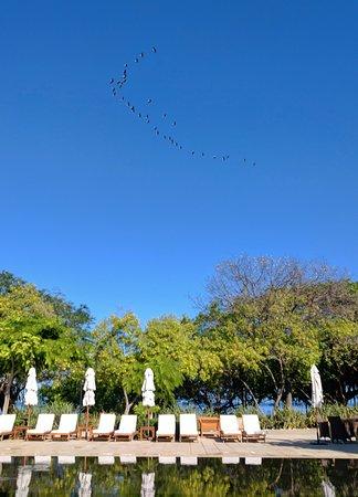 Reserva Conchal Beach Resort, Golf & Spa: Pelicans flying over pool area