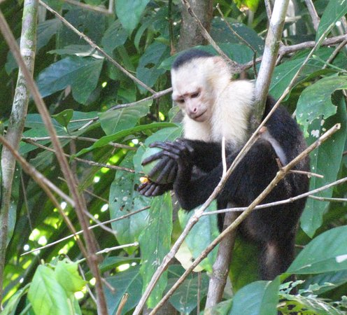 Drake Bay, Costa Rica: White face monkey eating in the tree top by Aquila de Osa Inn