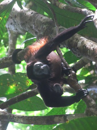 Drake Bay, Costa Rica: Howler monkey with baby in tree by Aqila de Osa Inn