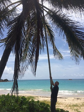 Cades Bay, Antigua: Collecting coconuts