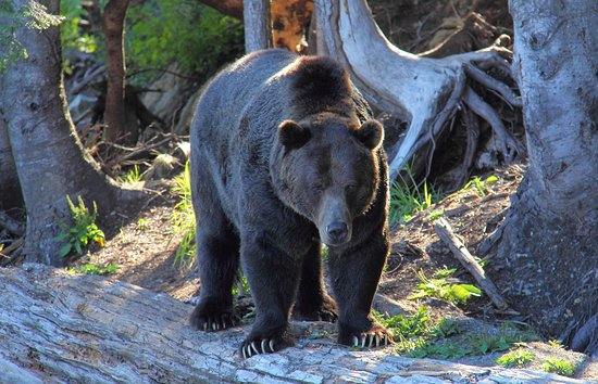North Vancouver, Canada: Grizzly!