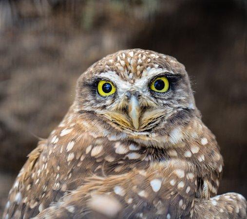 Chula Vista, Kalifornia: burrowing owl
