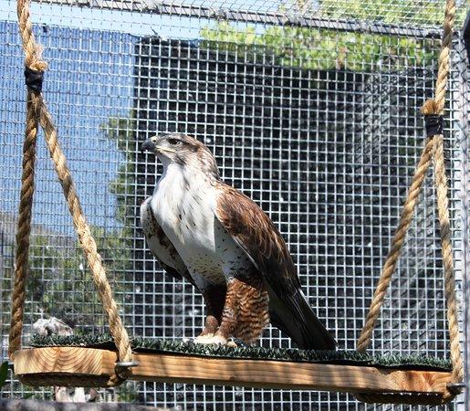 Chula Vista, Kalifornia: ferruginous hawk