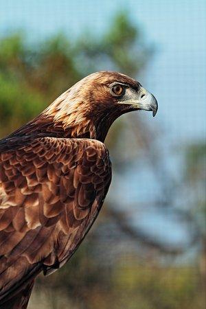 Chula Vista, Kalifornia: golden eagle