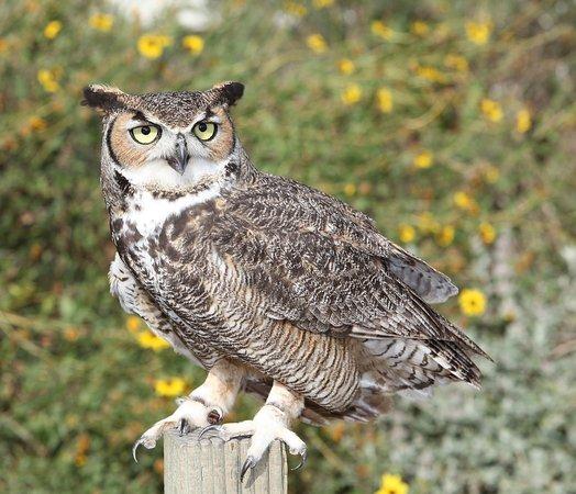 Chula Vista, Kalifornia: great horned owl