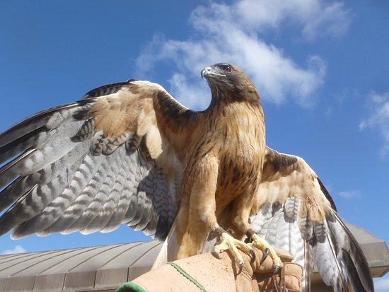 Chula Vista, Kalifornia: red tailed hawk