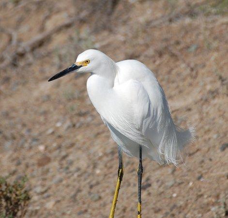 Huntington Beach, CA: snowy egret_large.jpg