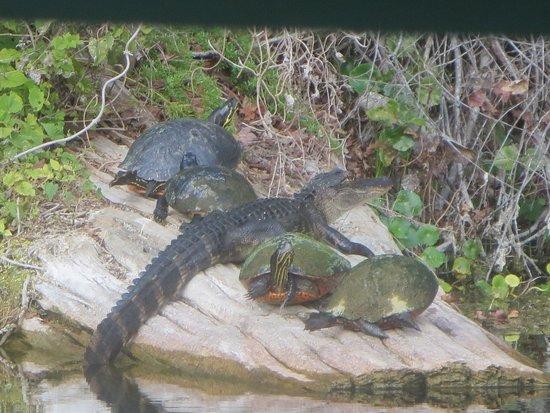 Silver Springs, FL: This gator has strange siblings