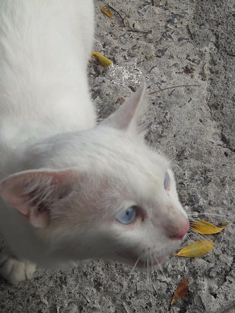 Wat Plai Laem: Настоящий сиамский кот:)
