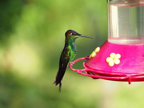 Zamora, Ecuador: view from restaurant area: hummingbird on feeder