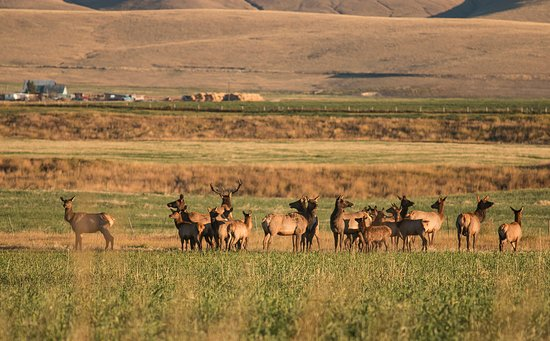 Philipsburg, MT: The Ranch is home to a diverse wildlife population including herds of elk, as well as deer and m