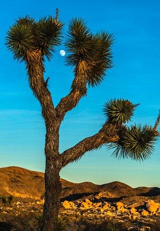 Twentynine Palms, CA: Moon and Joshua Tree