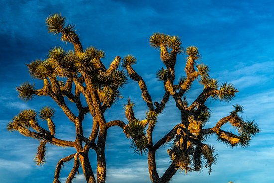 Twentynine Palms, Californië: Joshua Tree
