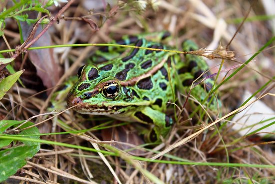 Millinocket, ME: frog at campsite