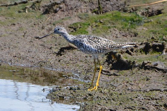 Edmonds, WA: Greater Yellowlegs migrating through the marsh.