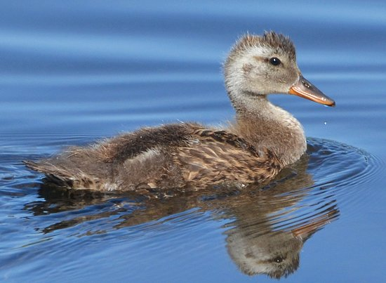 ‪‪Edmonds‬, واشنطن: Gadwall youngster coming of age in the marsh.‬
