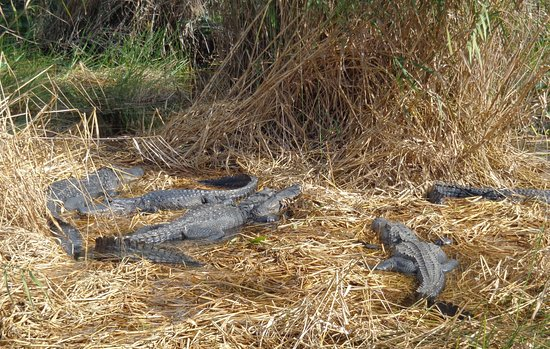 Florida City, FL: Alligators sunbathing at the end of the trail