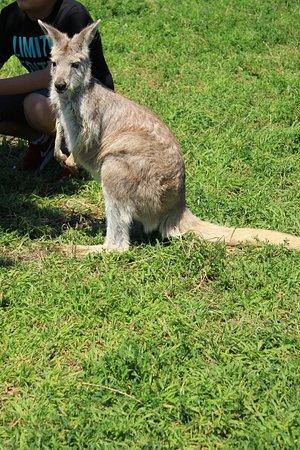 Lake Country, แคนาดา: roaming kangaroos
