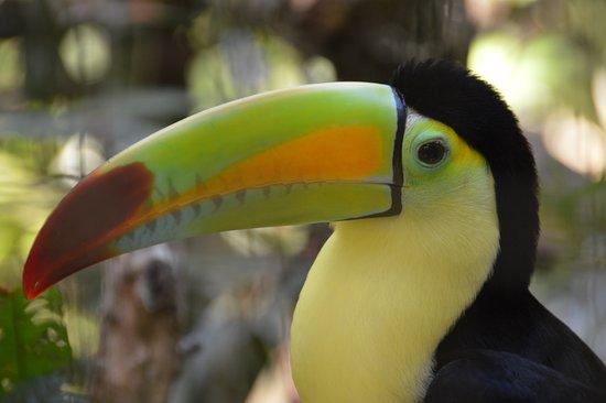 Punta Gorda, Belize: Keel billed Toucan (National Bird of Belize)