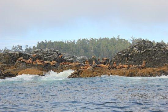 อูกลูเอเลต, แคนาดา: sea lions