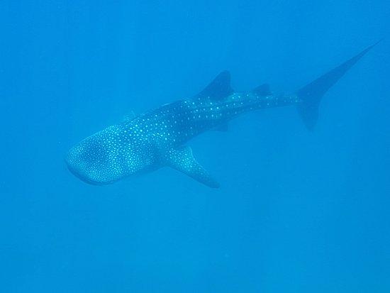 Ambatoloaka, Madagaskar: Requin baleine