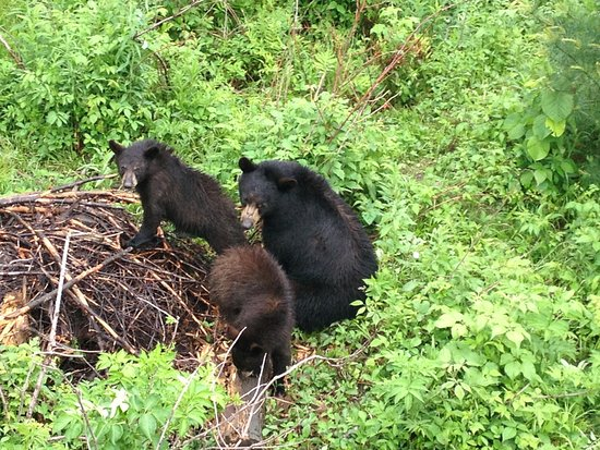 Montebello, Canada: famille d'ours