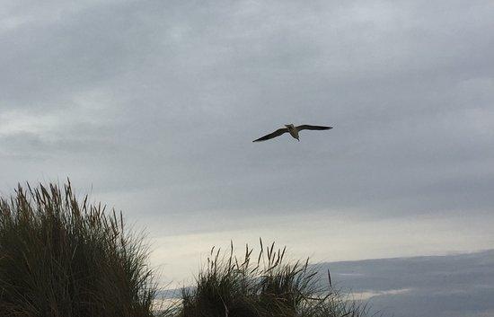 Wells-next-the-Sea, UK: Gull over Holkham dunes