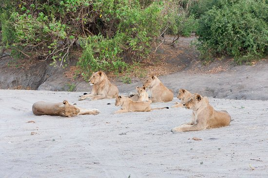 Kasane, Botswana: Lions in Chobe National Park