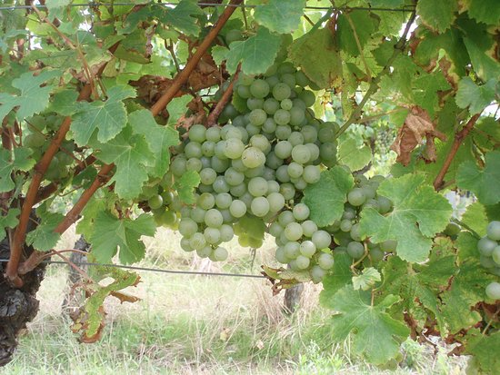 Les Leves-et-Thoumeyragues, France: semillon grapes