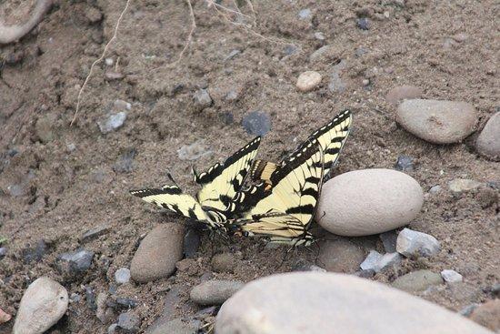 Wellsboro, Pensylwania: Two beautiful butterflies
