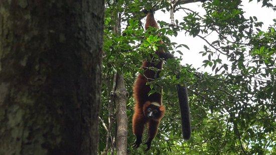 Maroantsetra, Madagascar : Varecia varicosa, Roter Vari