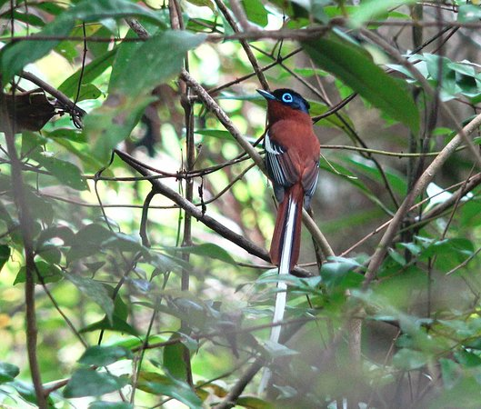 Maroantsetra, Madagascar : Terpsiphone mutata, Madagaskar-Paradiesschnäpper