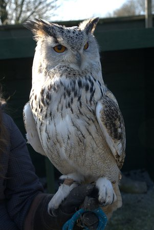 St Columb Major, UK: My personal favourite - Rupert the Eagle Owl