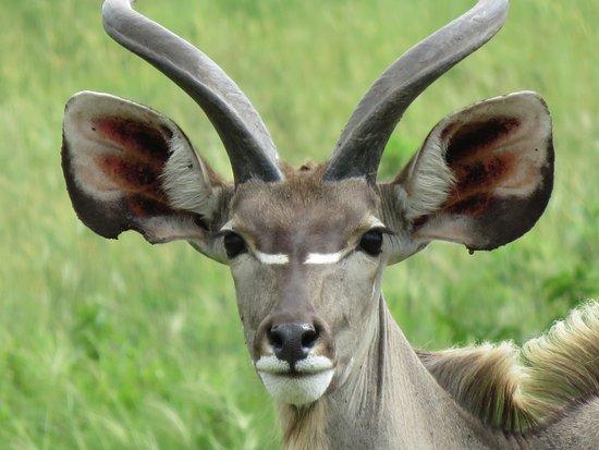 St Lucia, South Africa: Kudu